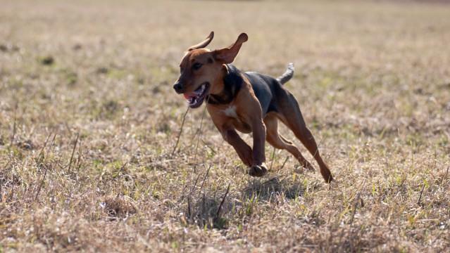 Schillerstövaren - En unik svensk hundras