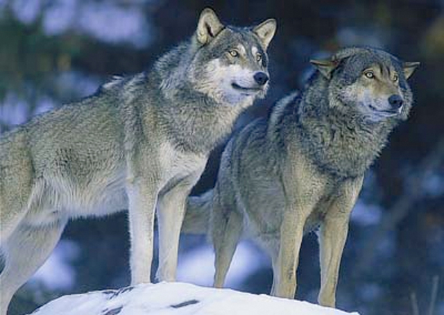 Två euroasiatiska vargar