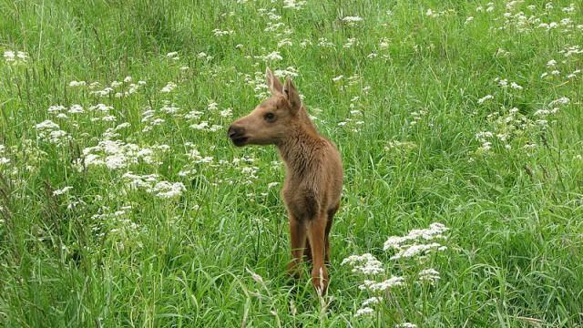 Ensam älgkalv i gräset