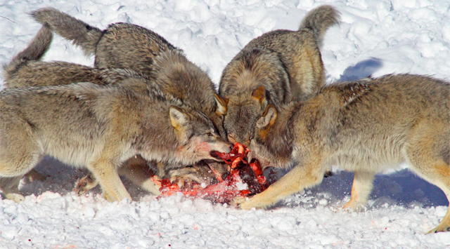 En flock vargar delar på ett byte.