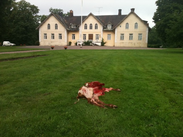 Nötkalv dödad av varg på gårdsplan framför Beateberg i Norrtälje