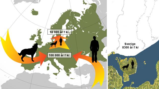 Vargens och människans samtidiga etablering i Europa