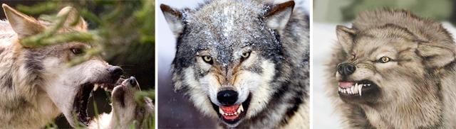 Aggressiva vargar.
