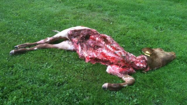 Nötkalv dödade på gårdsplan utanför Beateberg i Norrtälje