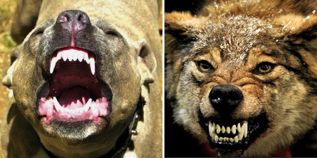 Pitbull terrier och varg.
