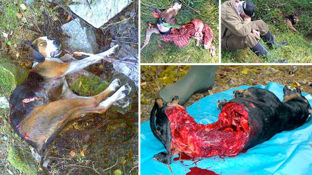 Hundar dödade av varg