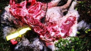 Vargslagen gråhund trots vargpingla