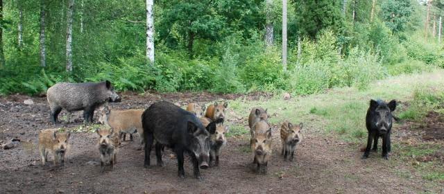 En grupp vildsvin med kultingar
