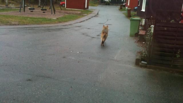 Varg fotograferad i Fagersta 2011.11.21