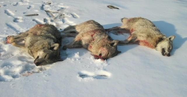 Skyddsjakten på varg i Älvdalens kommun avslutad