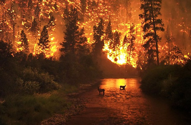 Klövvilt fotograferat under en skogsbrand i Bitteroot Valley i augusti 2000