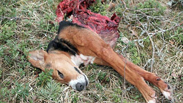 Stövare dödad av varg