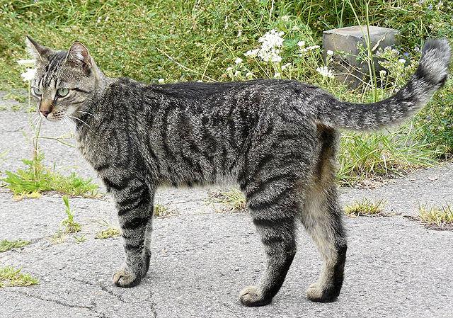 Kattdödande varg i Kolsva