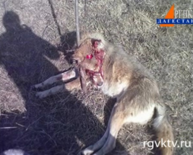 Stockholms vargar dodade kalv