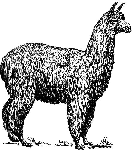 alpackor vargdödade