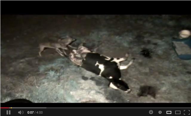 bonde filmade ko dödad av varg spanien