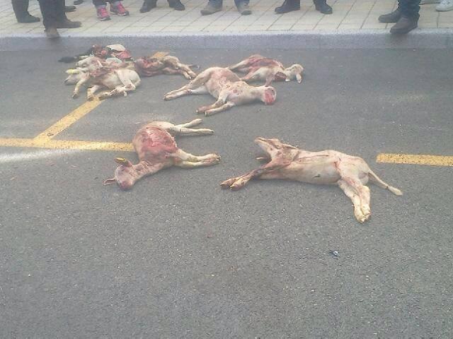 döda får på gatan