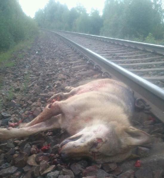 varg dödad av tåg kristinehamn