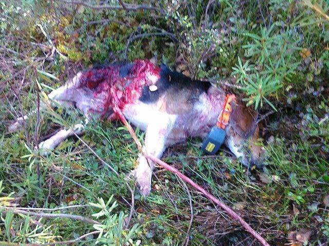 vargdödad hund finland