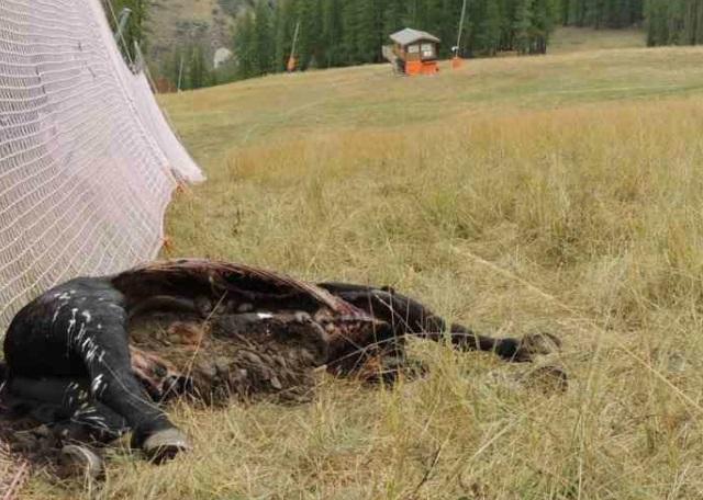 Häst dödad av vargar frankrike