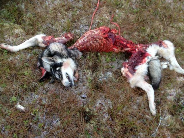 jämthund dödad av varg ljusdal