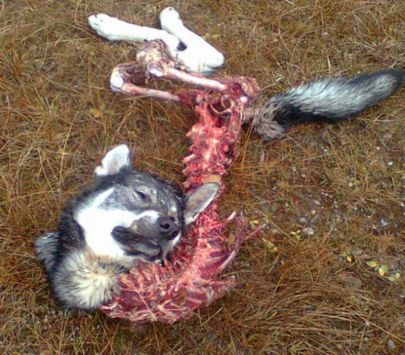jämthund dödad och uppäten i värmland