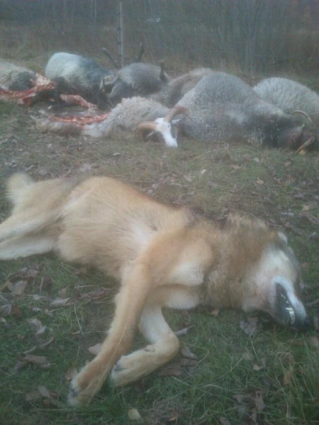 varg skjuten i fårhage