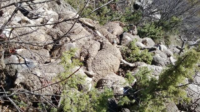 98 får dödade av varg