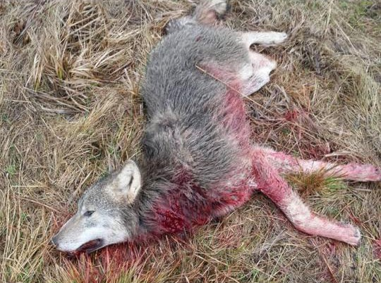 Hundattackerande varg skjuten lindesberg