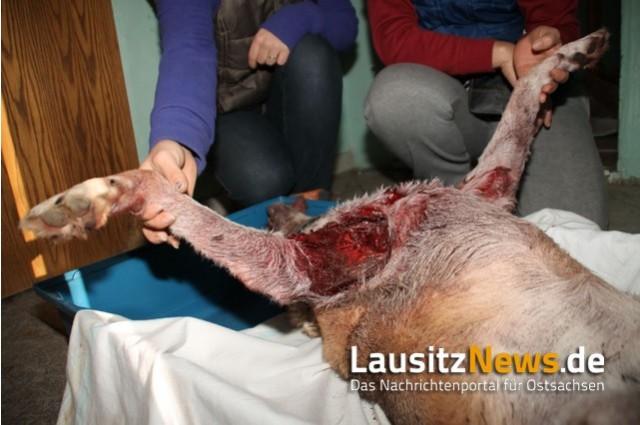 hund dödad av varg tyskland