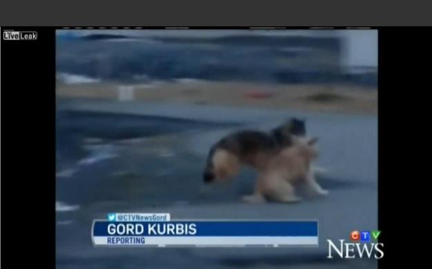 video varg tar sällskapshund