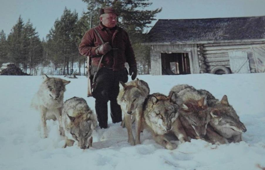gråvargar skjutna i finland