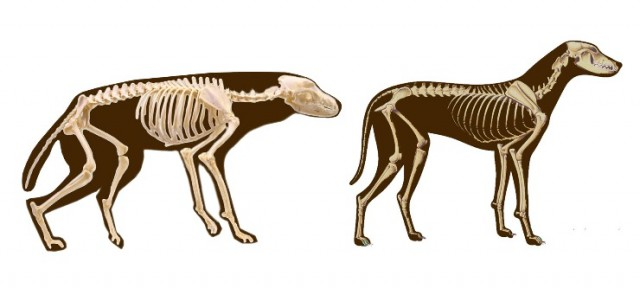 vargen och hundens skelett