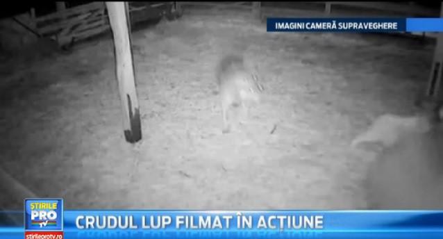 Hoppande varg fångad på video rumänien