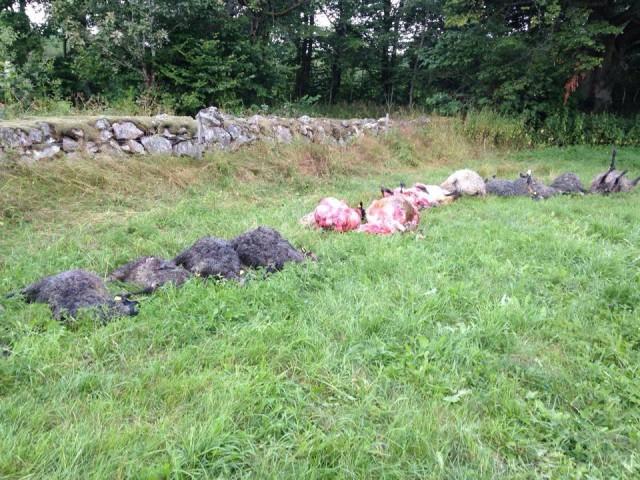 15 får dödade av varg vittsjö