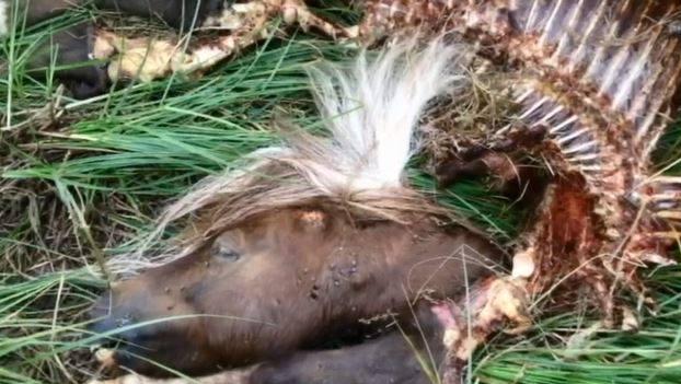 minhästar dödade av varg