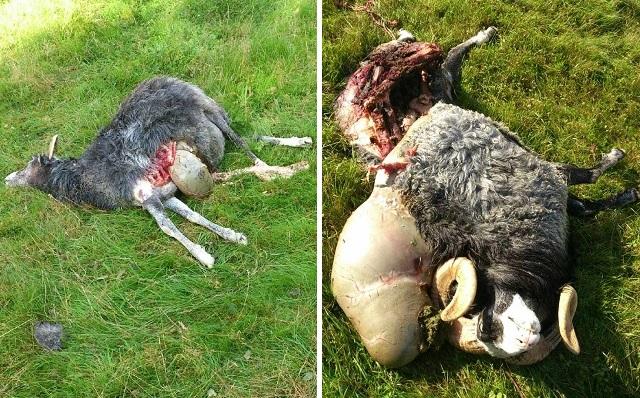 två får vargdödade i markaryd