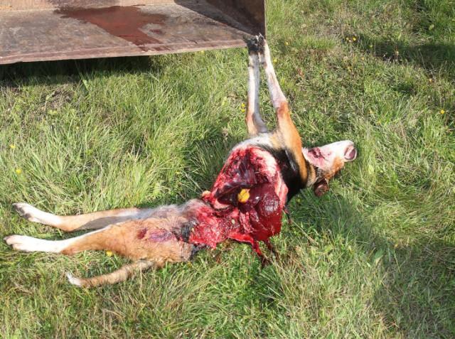 Finsk stövare dödad av varg