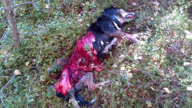 drever dödad av varg värmland