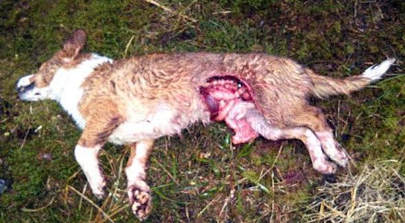 drever dödad av varg i håbol dals-ed