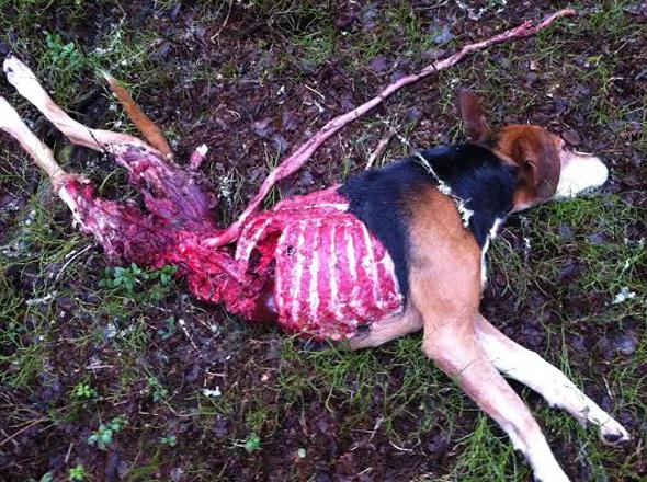 finsk stövare vargdödad och uppäten