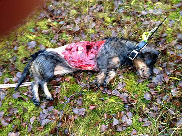 hundar dödade av varg 2014
