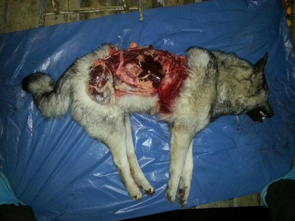 gråhund dödad av varg