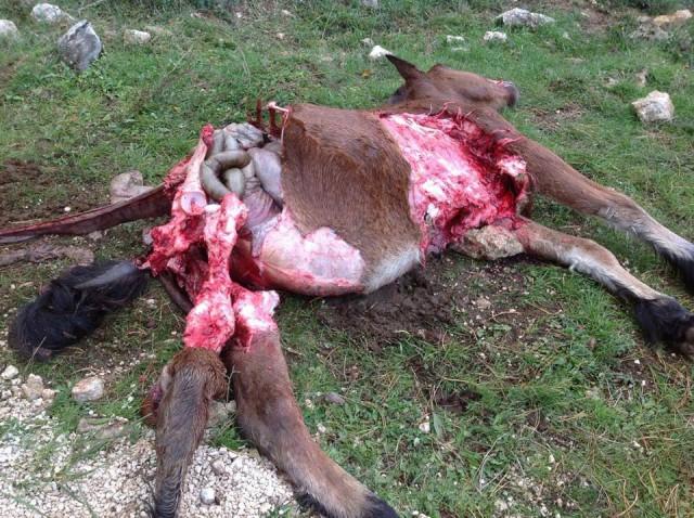 häst dödad av varg